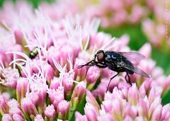 Fly (Gav Jensen) Tags: nikon macro d750 messingham sands fly flower