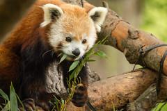 2017-06-01_013 (The_1701) Tags: edinburghzoo red panda redpanda