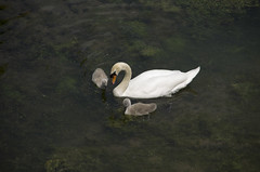 PriorPark-0682 (Neil Hobbs) Tags: bath cygnets nationaltrust priorpark swans