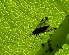 Green and fly (Englepip) Tags: macro insect leaf green black silhouette macromondays