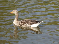 Float (Lexie's Mum) Tags: walks walking coombecountrypark coombe coombeabbey warwickshire nature spring bird birds wildlife wildfowl waterfowl