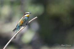 Abejaruco (Merops apiaster) (mlorenzovilchez) Tags: abejaruco meropsapiaster naturaleza birdwatching aves estrechodegibraltar algeciras nikond7200 tamron150600