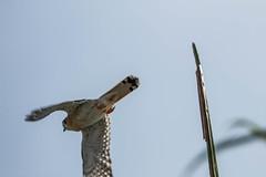 Crécerelle d'Amérique (Falco sparverius) (yann.dimauro) Tags: hispaniola république antilles caraibe caraibes dimauro dominicain dominicaine yann