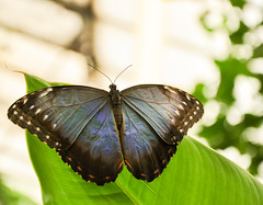 Blue Morpho.. (Imagine8 Photography) Tags: butterfly wings blue bluemorpho edinburgh scottish scotland nature colourful animal insect imagine8photography 18105mm
