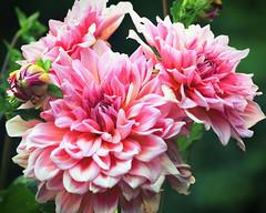 Dahlia (dorameulman) Tags: dahlia flower macro summer light inmybackyard gastonia northcarolina dorameulman garden canon canon7dmark11 sigma105mmf28exdgmacroos outdoor glowing haiku poem
