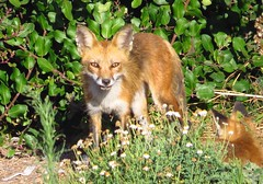 Momma fox gives the icy stare of death-San Pedro (gskipperii) Tags: foxes babies fox redfox canid nonnative sanpedro pointfermin ocean southbay outdoors nature mammal wildlife ears cute adorable whatdoesthefoxsay