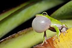 諸羅樹蛙 Rhacophorus arvalis (TaYu Yeh) Tags: 兩棲類 樹蛙 鳴叫 夜拍 105mm nikon 生態攝影 綠色 諸羅樹蛙