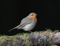 Robin... (Catherine Cochrane) Tags: robin nature outdoors wildlife wildlifephotographers naturephotographer bird birdsuk 2017 birdphotography uk birds ukbirds ukwildlifephotography