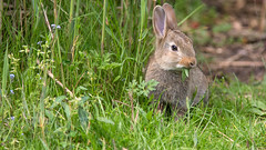 Konijn (Wim Boon (wimzilver)) Tags: wimzilver wimboon canoneos5dmarkiii canon300mmf4lis14ex konijn rabbit alblasserwaard nederland netherlands natuur nature holland