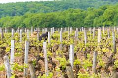 Bourgogne (scott_flute) Tags: bourgogne burgundy d5300 dslr europe france nikon paris travel vacation blanc blancs domaine grandcru premiercru red rouge rouges vin vineyard vins white wine wines gevreychambertin bourgognefranchecomté fr