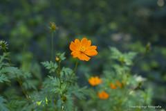 delicate (Martha MGR) Tags: flower nature natureza flores orangeflower sãopaulo outdoor outono poppy