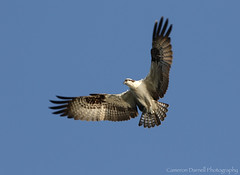 Osprey (Cameron Darnell) Tags: osprey fish hawk pandion eagle raptor ornithology orlando bird avian birding birds hovering hunting feathers brown cameron 2017 7d canon ii florida haliaetus