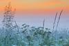 mist, ochtendrood (Karin Broekhuijsen Fotografie) Tags: 20170602 cowparsley deschampsiaflexuosa drenthe geoparkdehondsrug unescoglobalgeopark wavyhairgrass anthriscussylvestris bermbloemen bermgras beschermdgebied bloeien bloeiwijze bloem bochtigesmele buitengebied contrast dageraad flora fluitenkruid grassen grassenfamilie inbloei juni landschap mist natuurgebied natuurreservaat nederland ochtend tegenlicht weersverschijnsel zomer zonsopgang zonsopkomst nl