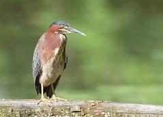 Green Heron (JDA-Wildlife) Tags: birds nikon nikond7100 tamronsp150600mmf563divc jdawildlife portrait closeup heron herongreen greenheron johnny wow