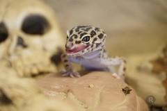 20170627X1859_Leopardgecko_0065 (RascheBilder) Tags: leopardgecko raschebilder