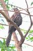Asian Koel Female (Eudynamys scolopaceus) (Balaji Bharadwaj) Tags: asian koel pondicherry elusive