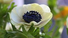Anemone (abrideu) Tags: abrideu canoneos100d anemone white depthoffield bokeh bright flowers flower macro plant indoor ngc