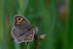 Meadow Brown Upton NWT (JohnMannPhoto) Tags: meadow brown upton nwt butterfly norfolk