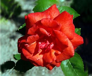 Алая Роза для  Мамы / Anna loved Red Roses