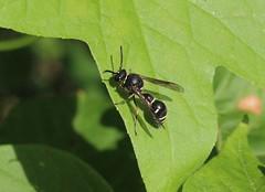 IMG_7781a - Syrphid Fly (Spilomyia Fusca) - Zephyr, Ontario, Canada (Wayne W G) Tags: mimicry canada ontario durham uxbridge zephyr taxonomy:kingdom=animalia animalia taxonomy:phylum=arthropoda arthropoda taxonomy:subphylum=hexapoda hexapoda taxonomy:class=insecta insecta taxonomy:subclass=pterygota pterygota taxonomy:order=diptera diptera taxonomy:suborder=brachycera brachycera taxonomy:infraorder=muscomorpha muscomorpha taxonomy:family=syrphidae syrphidae taxonomy:subfamily=eristalinae eristalinae taxonomy:tribe=milesiini milesiini taxonomy:subtribe=milesiina milesiina taxonomy:genus=spilomyia spilomyia taxonomy:species=fusca taxonomy:binomial=spilomyiafusca spilomyiafusca baldfacedhornetfly taxonomy:common=baldfacedhornetfly inaturalist:observation=6943376 tamronspaf60mmf2diiimacro