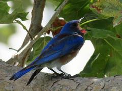 """It's HOT!!!"" (Kat Avila - Southern California) Tags: bird bluebird westernbluebird"