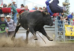 Before Dark ( Bull's name) (cowgirlrightup) Tags: cowgirlrightup bullfighters alberta bull rodeo