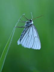 Baumweißling (rudolfaurnhammer) Tags: natur tiere insekten falter tagfalter schmetterlinge weislinge baumweisling makro