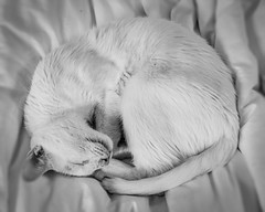 Sleep, In Black and White-3.jpg (elektratig) Tags: cat cats stillwater sussexcounty newjersey
