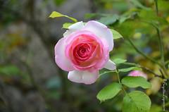 """Parfum douceur (Brigitte .. . """"Tatie Clic"""") Tags: 2017061339 fleurrose juin printemps jardin sansretouche rose vert verdure fb tw lcob fleur flower 7dwf"""
