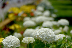 The Hydrangea of summer (WilliamND4) Tags: sliderssunday hss flowers hydrangea