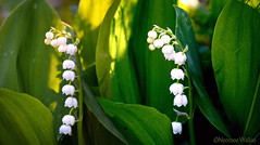 Lily of the valley (Convallaria majalis) (nyomee wallen) Tags: lilyofthevalley convallariamajalis lilyofthevalley–finland'snationalflower finland'snationalflower finnishnationalflower flowers lily lilies suomi helsinki explore