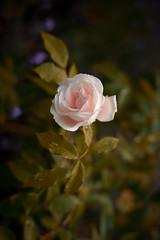 rosé (Marc R. A.) Tags: rose flower loxia235 a7r2 zeissloxia