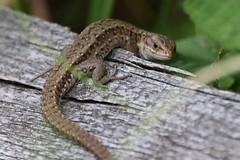 (Zatanen) Tags: zootocavivipara sisilisko skogsödla commonlizard viviparous lisko ödla lizard reptiles waldeidechse lézard lagarto lacerta