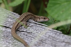 (Zatanen) Tags: zootocavivipara sisilisko commonlizard skogsödla viviparous lisko ödla lizard reptiles waldeidechse lézard lagarto lacerta