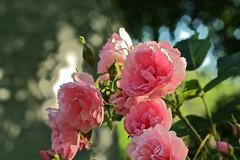 Gol (smilla4) Tags: rose pink bokeh iran gol