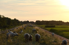 Sheep on the dike - Schafe am Ilmenaukanal (mechanicalArts) Tags: schafe ilmenaukanal winsen luhe sheep dike deich