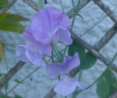 Sweet pea (NomadWarMachine) Tags: purple sweetpea flower