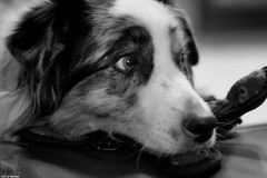 Oh, is Mom going to make her move? (Jasper's Human) Tags: aussie australianshepherd dog toy play