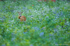 a Monet Moment (hvhe1) Tags: wildlife nature wild animal wildflower meadow capreoluscapreolus roedeer ree reh chevreuil evening blue hvhe1 hennievanheerden