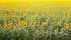 million suns (photoksenia) Tags: dmcgm5 panasonic floral flower sunflower summer summertime yellow field
