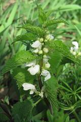 Lamium album (gabrielterraz) Tags: croixrampau rhône france lamiaceae lamium