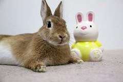 Ichigo san 752 (Ichigo Miyama) Tags: いちごさん。うさぎ ichigo san rabbit うさぎ netherlanddwarfbunny netherlanddwarf brown ネザーランドドワーフ ペット いちご