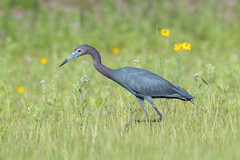 Little Blue (Melissa James Photography) Tags: egrettacaerulea littleblueheron heron bird animal wildflowers birdhunting blue feathers breedingplumage nikond500 nikon300f4 fl florida