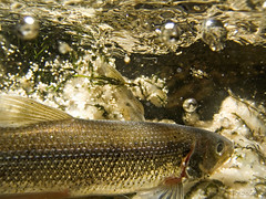 """Rainbow smelt • <a style=""""font-size:0.8em;"""" href=""""http://www.flickr.com/photos/142691167@N05/35083739622/"""" target=""""_blank"""">View on Flickr</a>"""