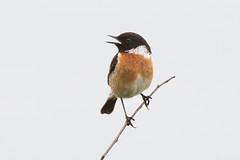 Stonechat ♂ (Shane Jones) Tags: stonechat bird nature wildlife nikon d500 200400vr