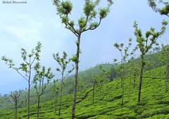 Oo-tea! (mohulbhowmick) Tags: canon 1300d 18mm ooty indiatraveldiaries indiapictures india instagram igers potd green teaestate tea hills