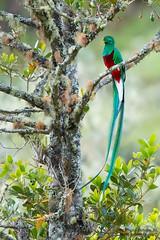 Resplendent Quetzal male, (Pharomachrus mocinno), Quetzal. (Sergio Bitran M) Tags: resplendentquetzal pharomachrusmocinno quetzal 2015 ave bird trogoniforme costarica