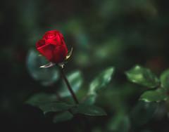 Spring Rose (justinherrold1) Tags: rose red flower flowers green botanical flora floral