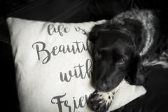 My Best Friend (JulieMorrish) Tags: dog dogphotographer dogportrait springerspaniel devon