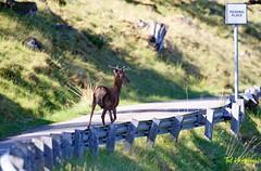 pass me here please (Ted Humphreys Nature) Tags: reddeer deeranimals scotland tedhumphreysnature